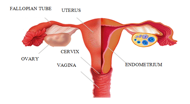 Female Reproductive System Fertility Center In Idaho